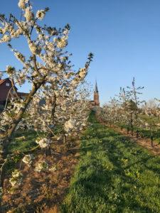 Fruit plantation in Groot-Gelmen